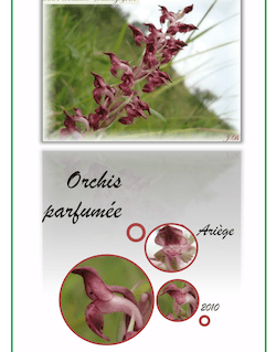Orchis parfumée