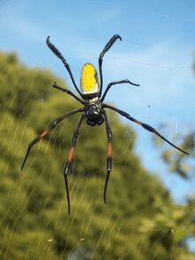 L'araignée nephila inaurata
