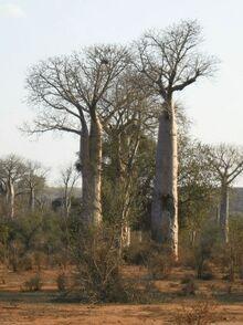 Des baobabs de Madagascar