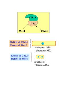 Deficit of Cdc25 Excess of Wee1