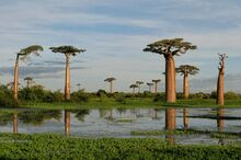 Des baobabs de grandidier