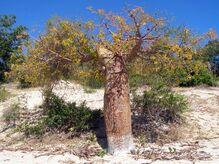 Un baobab fony