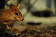 Rat sauteur de Madagascar