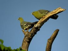 Les pigeons verts de Madagascar